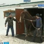 В Марьяновском районе разводят редкую породу русских тяжеловозов