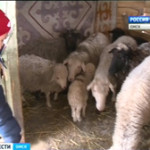 Неделя высокой овечьей моды в Марьяновском районе