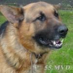 Служебный пес Стинг  вновь помог раскрыть кражу