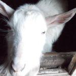 Продам белого козла на племя