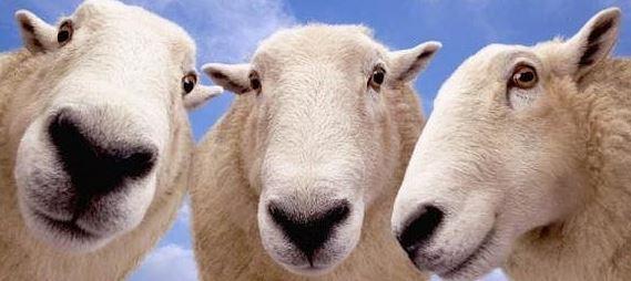 Овцевод марьяновка